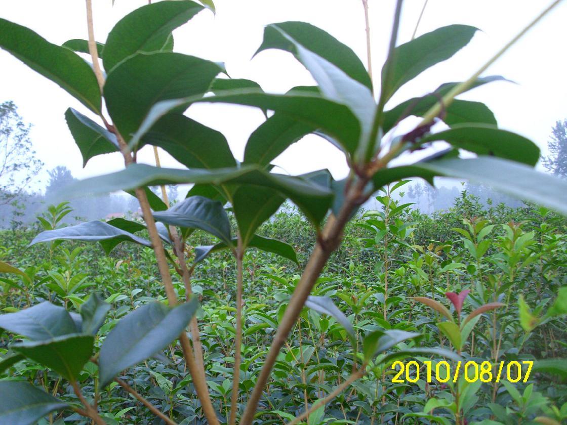 供应桂花树