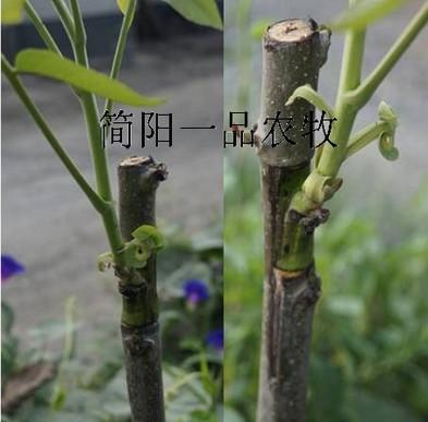 核桃树嫁接技术图解_核桃树嫁接方法图解 _网络排行榜