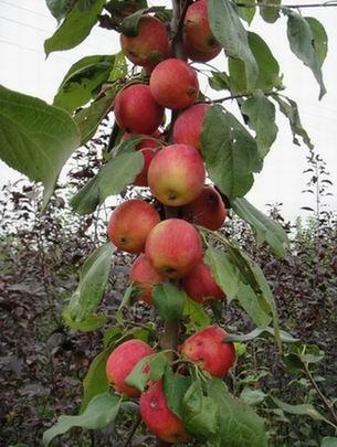 供应辽宁万村农业优质三年生k9苹果苗
