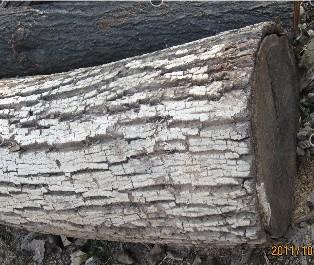 供应杏木原木