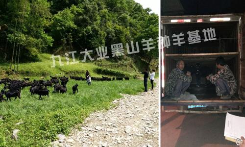 黑山羊种羊价格联系九江大业牧业