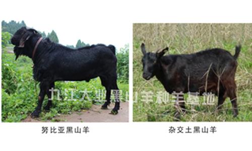 黑山羊品种