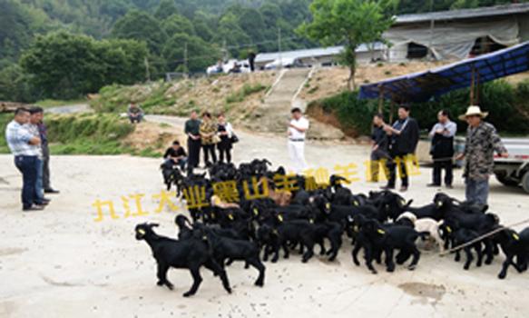 努比亚种羊养殖价格 江西九江找大业!