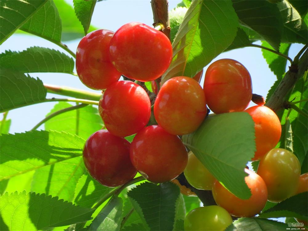 大量出售樱桃树苗 红灯美早樱桃苗 基地供应 看圃起苗