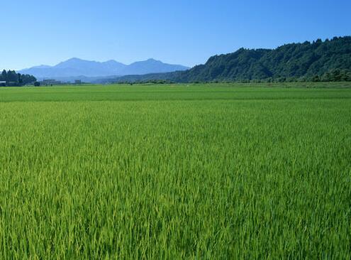 虎林水稻优质好货货源 自产东北黑土地优质水稻稻谷 2016年新鲜上市