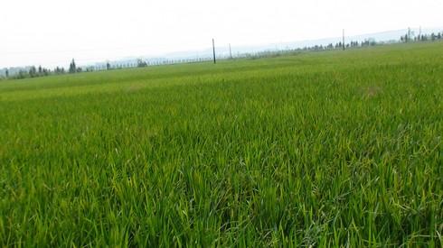 黑龙江省大庆市水稻批发销售_东北大米如何储存
