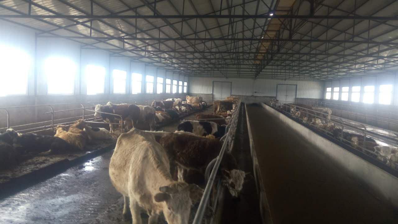 克东县专业肉牛养殖