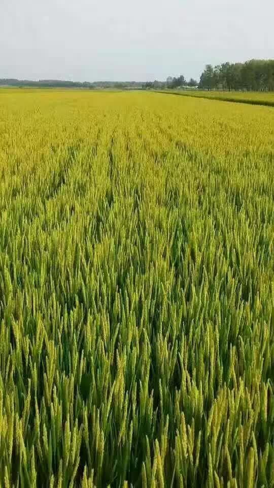 早稻谷农场风景照