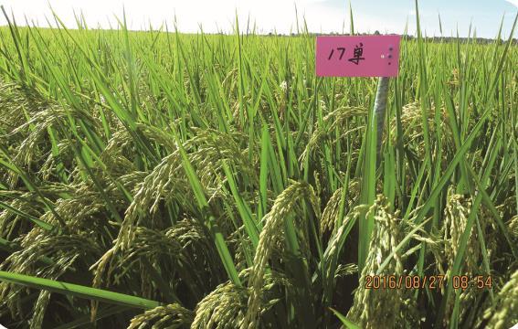 17单(细长粒优质) 扎赉特旗水稻种植销售