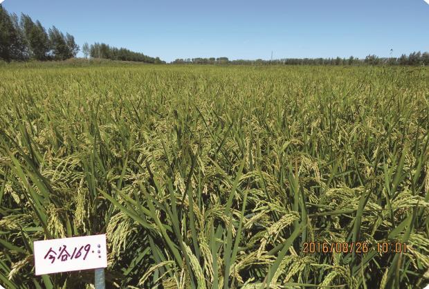 今谷169(长粒优质) 扎赉特旗大米批发销售