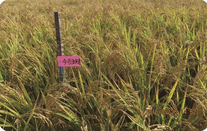 今谷五优香(细长粒香型优质)扎赉特旗稻米种植批发