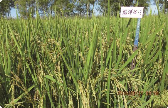 龙洋16(优质细长粒型) 扎赉特旗稻米批发