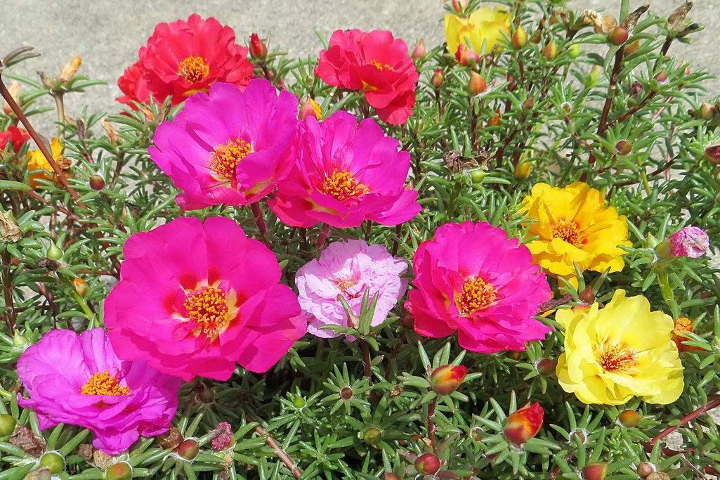 花种子_太阳花种子价格