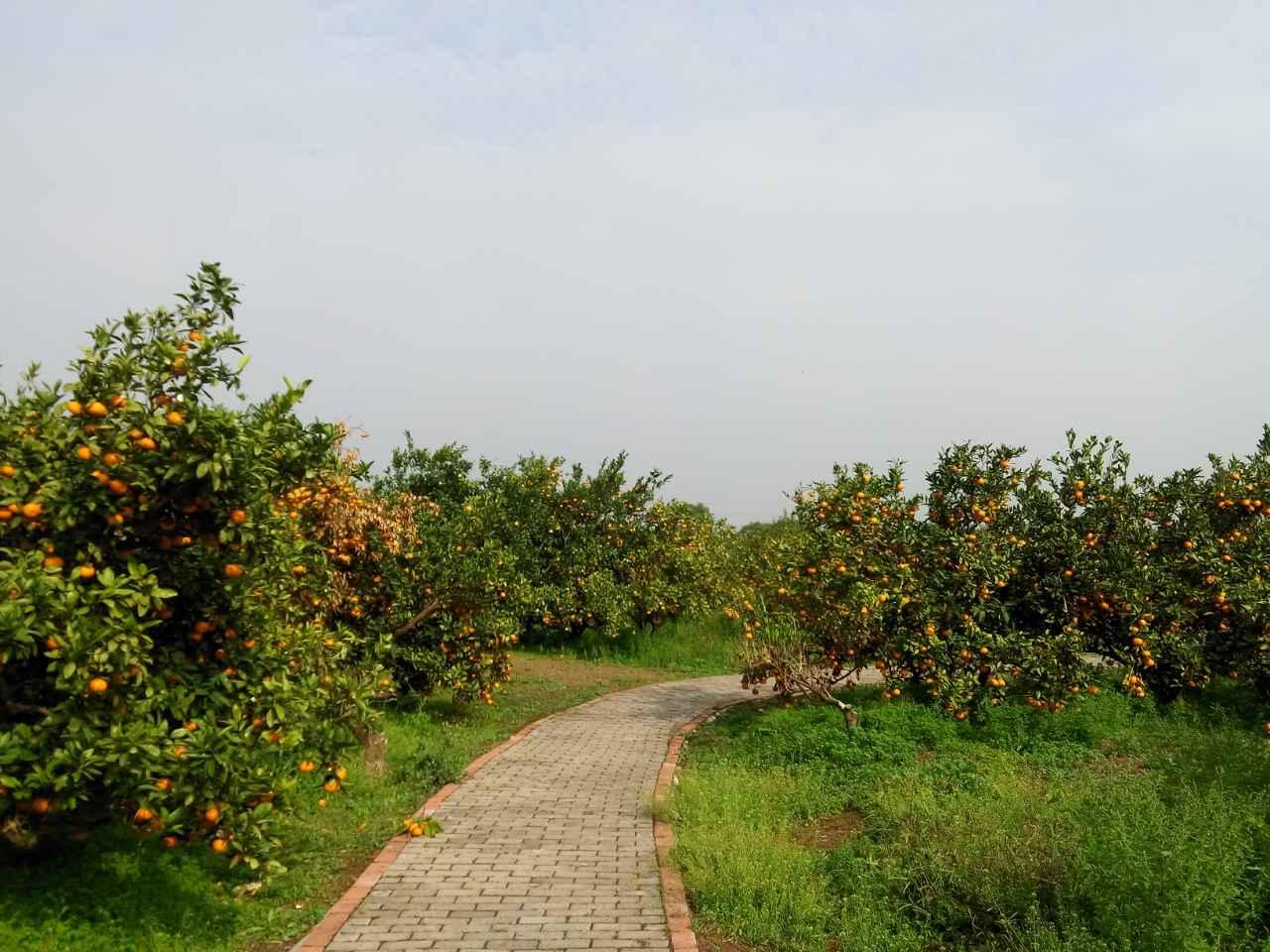 上海长兴岛桔园农庄农家乐 娱乐项目 拓展基地 桔子
