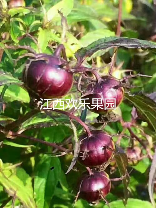 首页 供应信息 水果 果树苗/种植机械 > 2017特色水果苗木批发 红果参