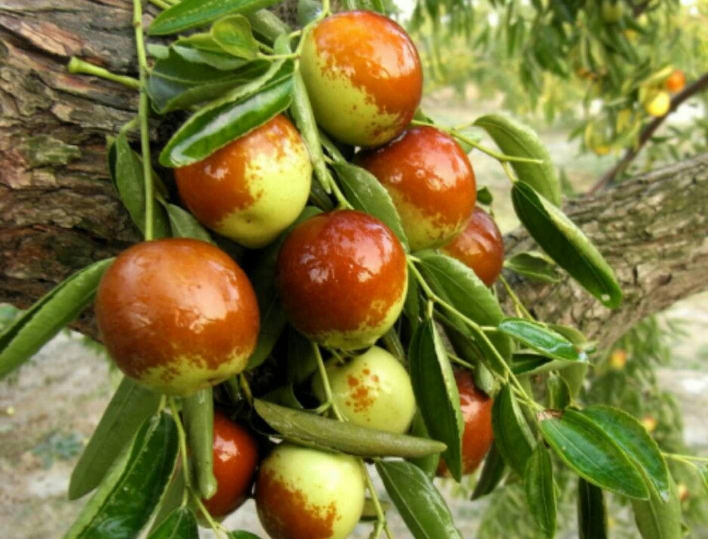 为什么说枣树的花期管理非常重要?