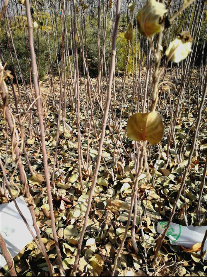 西藏2公分苹果树规格