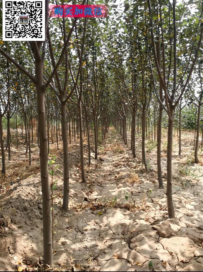 绛县占地苹果树供应商