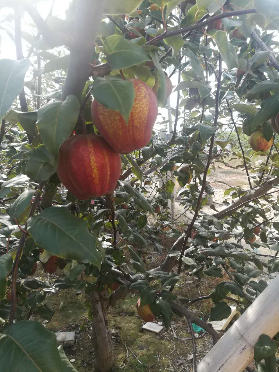 大兴安岭黄金梨树苗种植