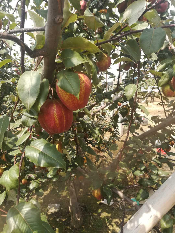 抚顺香梨梨树苗种植