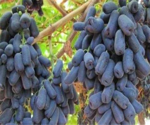 状元红葡萄树苗报价制造商