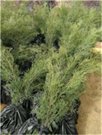 1.5米侧柏种植