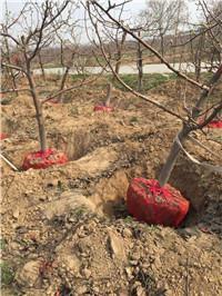 2公分梨树批发价格