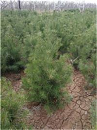 临汾一级白皮松种植