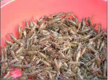 淡水小龙虾苗