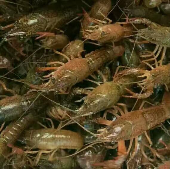 安顺淡水小龙虾苗养殖基地