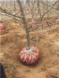 大金星山楂树苗种植
