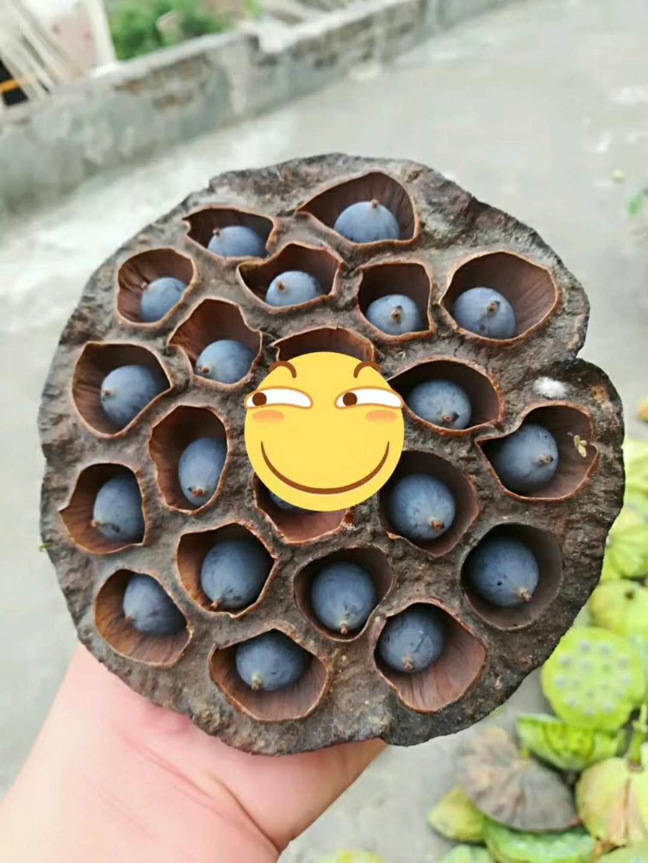 白莲藕种子种植视频 广昌白莲藕种