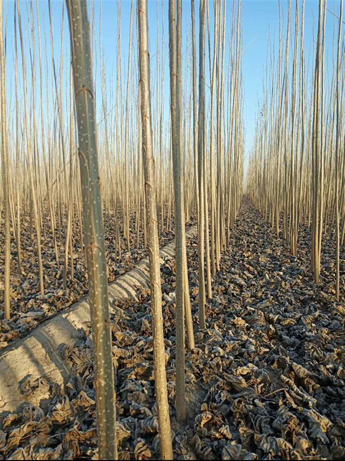 枣庄近的杨树苗繁育基地