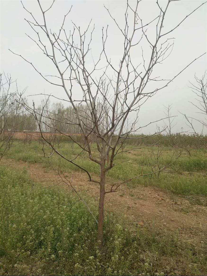 优质枣树供应商