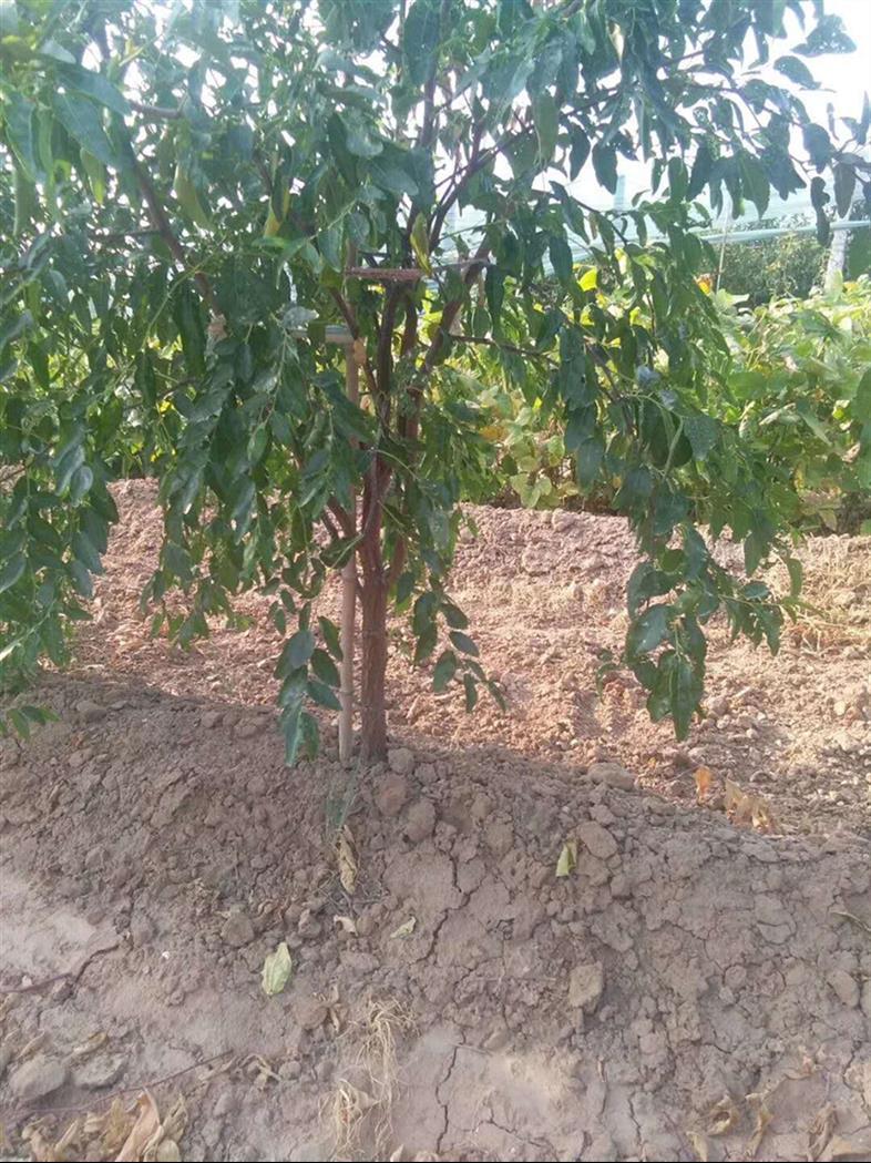 绛县低价枣树基地