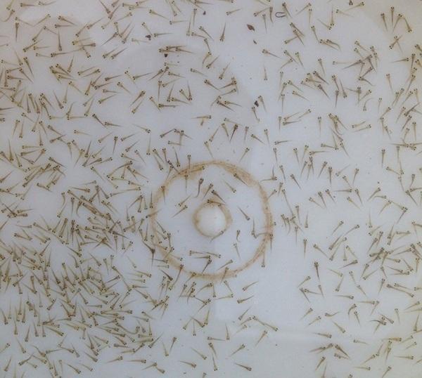 郑州泥鳅水花苗厂家