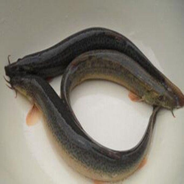 泥鳅今天收购价