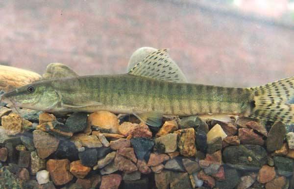 伊春泥鳅养殖技术