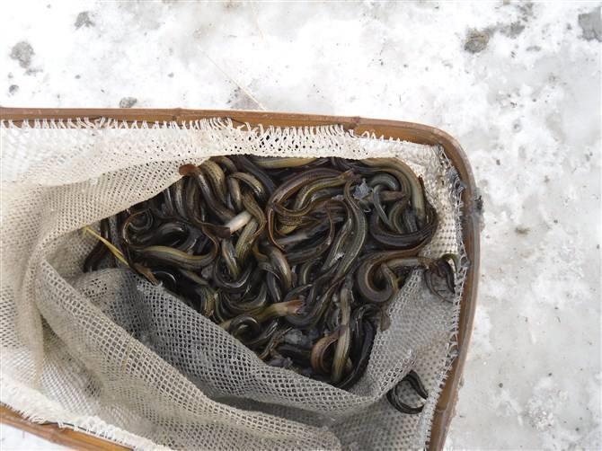 山西野生泥鳅苗养殖技术