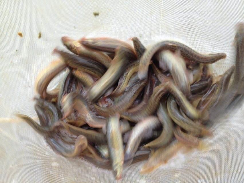 西藏野生泥鳅苗养殖技术