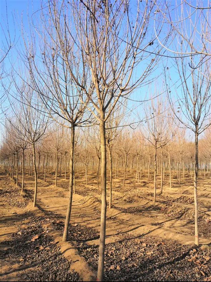 菏泽五角枫种植基地