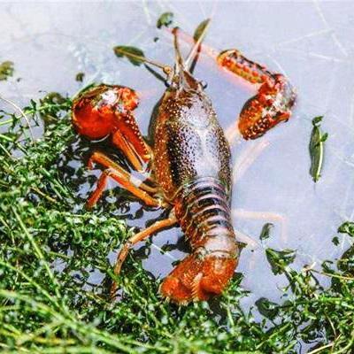 泸州本地小龙虾苗