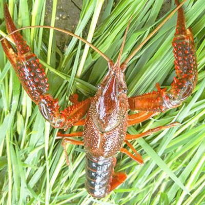 广安小龙虾养殖