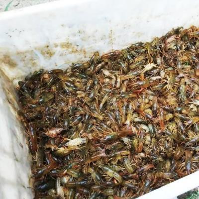 昆明本地小龙虾苗供应商