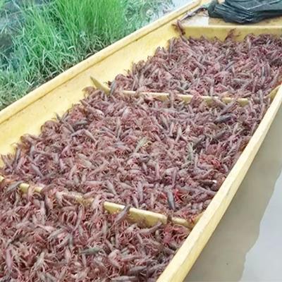广安四川小龙虾养殖基地