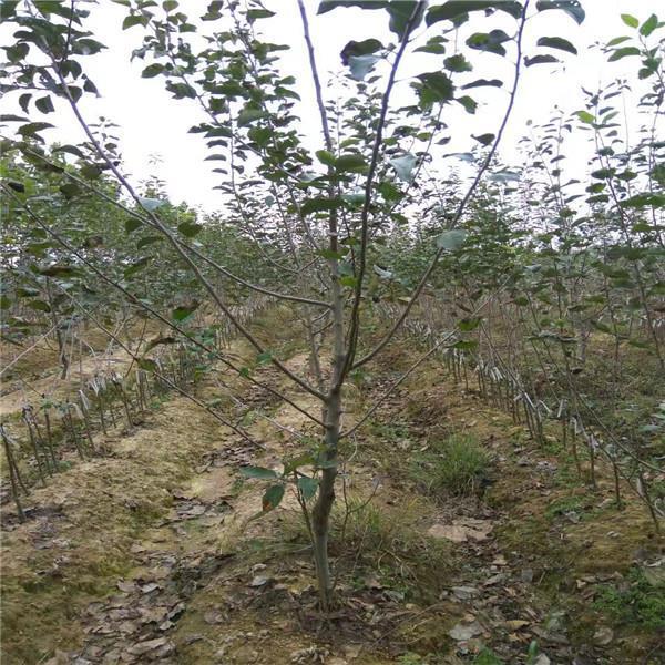 苹果苗基地冰糖心苹果苗新品种