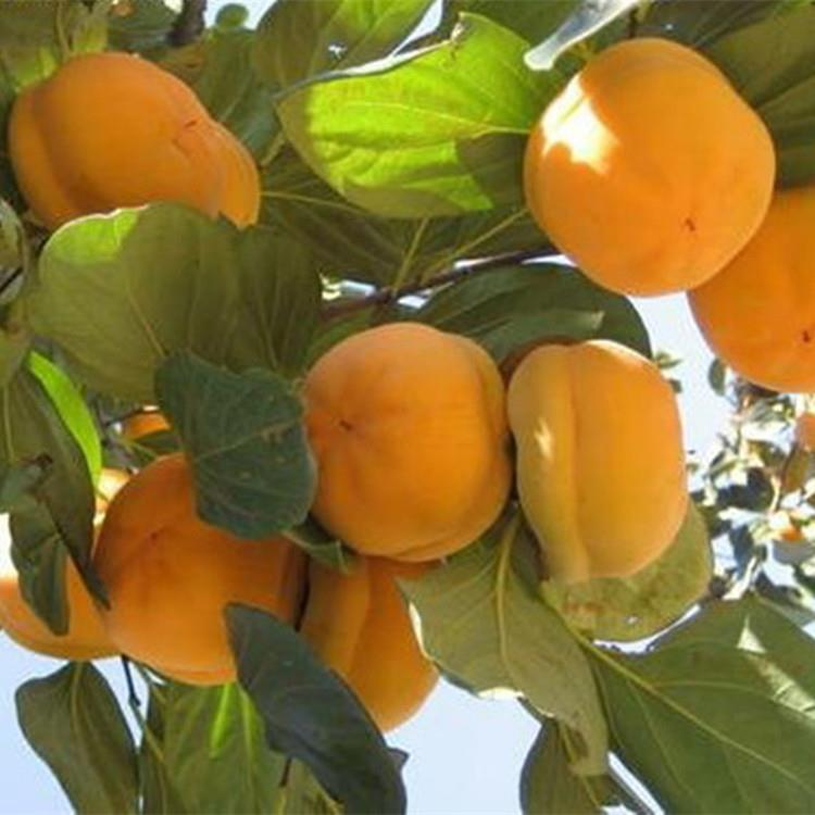 甜柿子苗批发价格