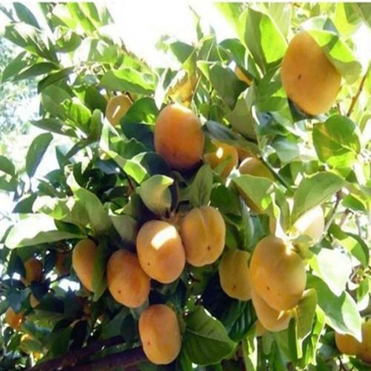 柿子苗基地黑甜柿子苗新品种