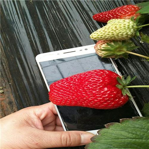 天使8号草莓苗价格表