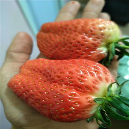圣诞红草莓苗经销商